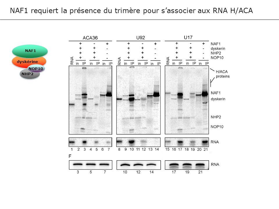 NAF1 requiert la présence du trimère pour s'associer aux RNA H/ACA