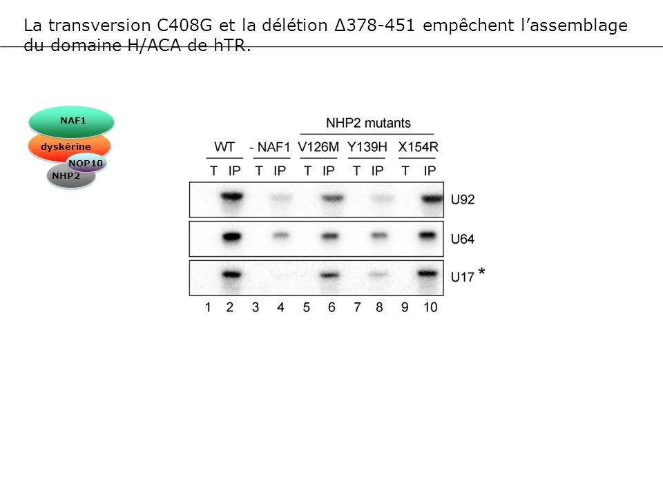 La transversion C408G et la délétion Δ378-451 empêchent l'assemblage du domaine H/ACA de hTR.