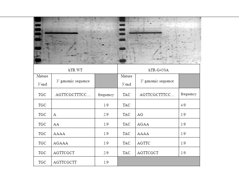 hTR WT hTR-G450A. Mature. 3'end. 3' genomic sequence. TGC. AGTTCGCTTTCC… frequency. TAC. 1/9.