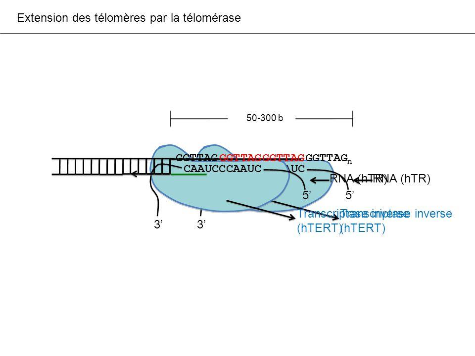 Extension des télomères par la télomérase