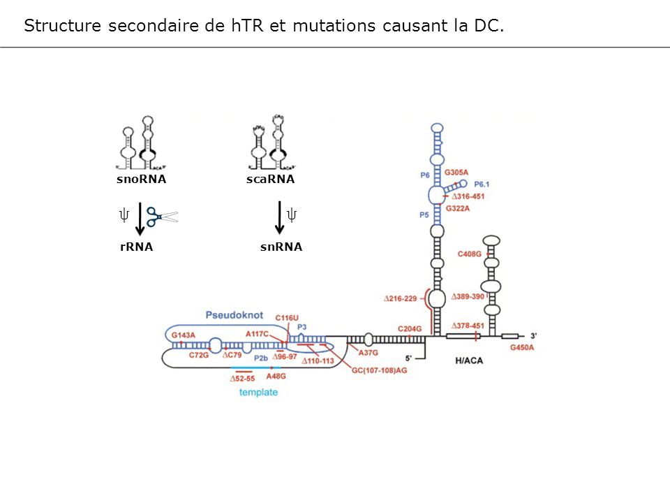 ψ Structure secondaire de hTR et mutations causant la DC.