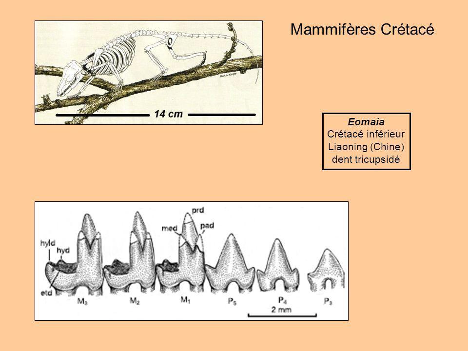 Mammifères Crétacé Eomaia Crétacé inférieur Liaoning (Chine)