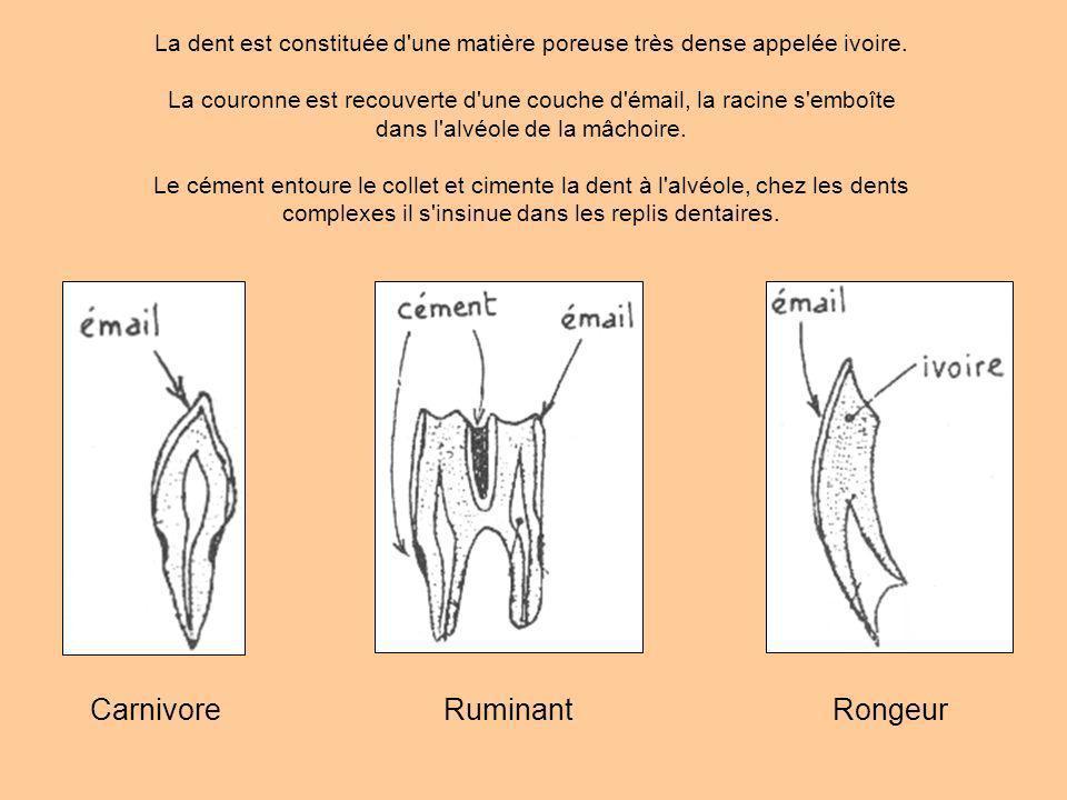 Carnivore Ruminant Rongeur
