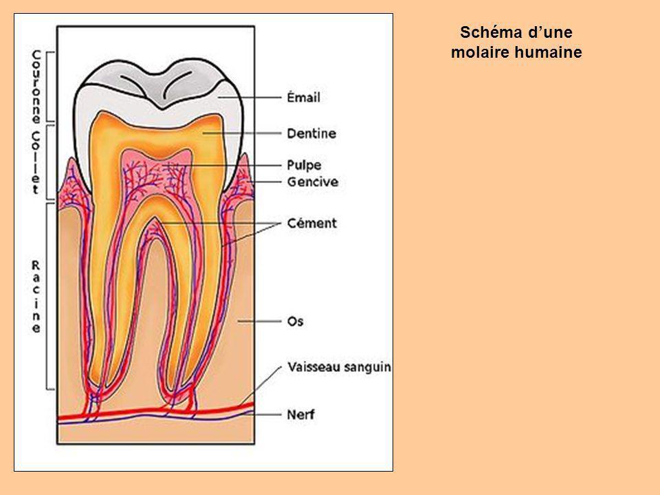 Schéma d'une molaire humaine