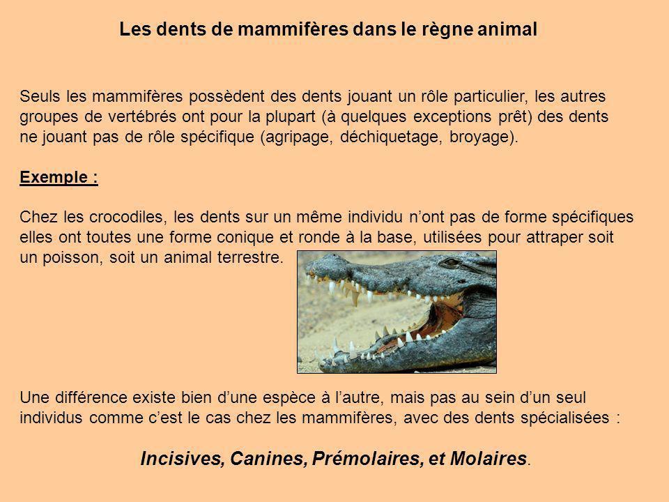 Les dents de mammifères dans le règne animal