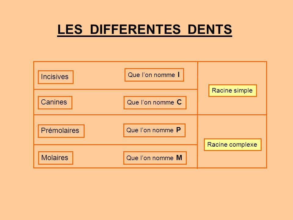 LES DIFFERENTES DENTS Incisives Canines Prémolaires Molaires