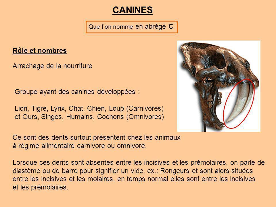 CANINES Rôle et nombres Arrachage de la nourriture