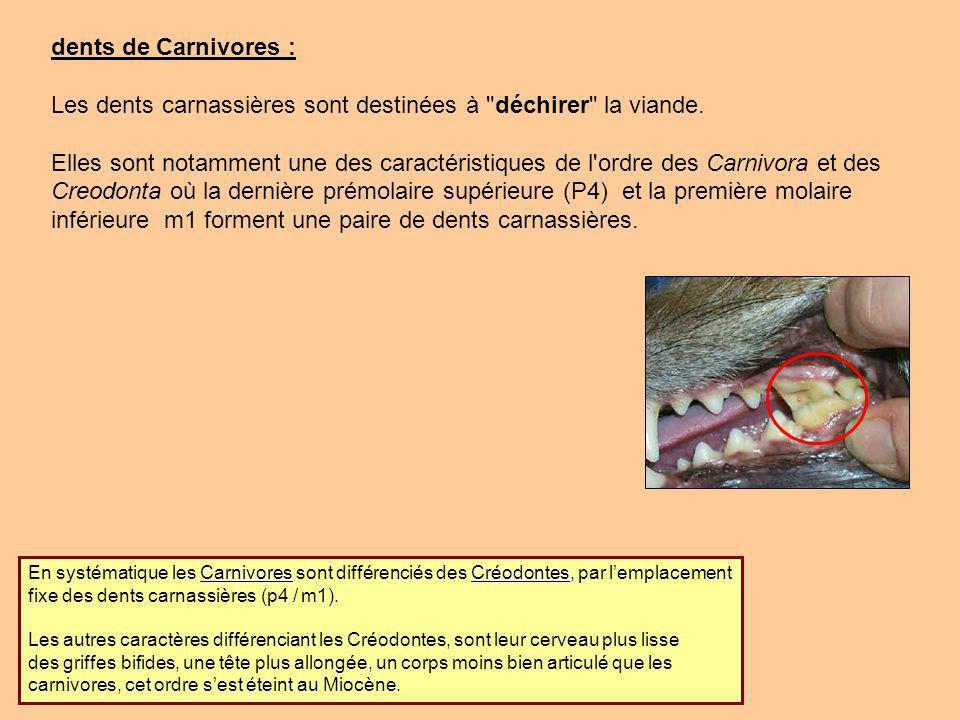 Les dents carnassières sont destinées à déchirer la viande.