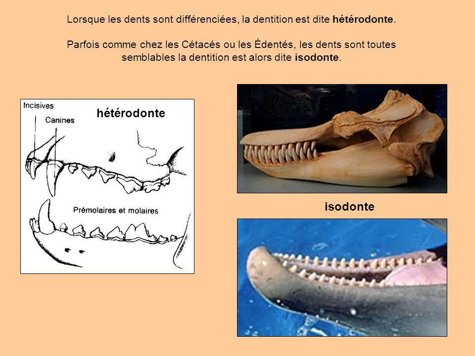 Lorsque les dents sont différenciées, la dentition est dite hétérodonte.