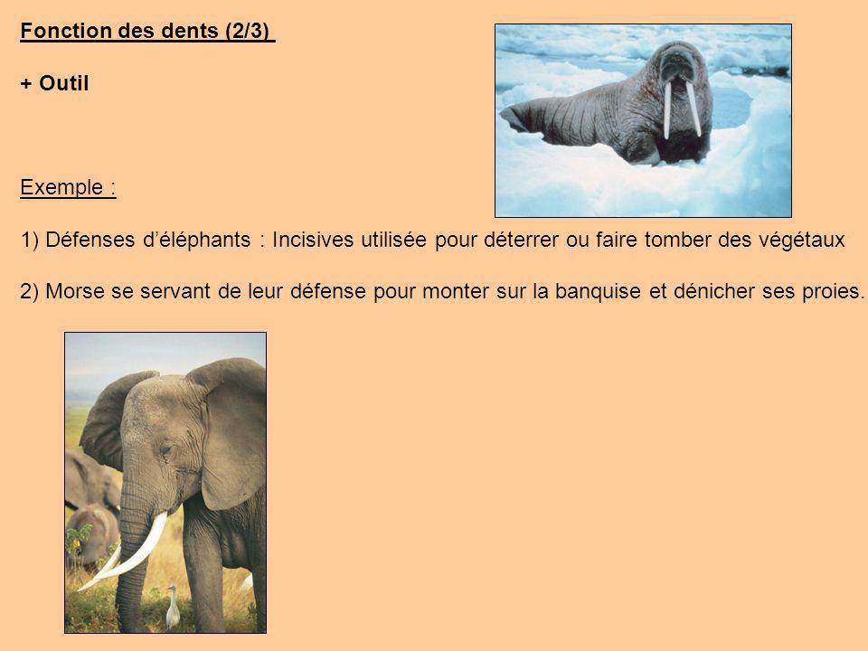 Fonction des dents (2/3) + Outil. Exemple : 1) Défenses d'éléphants : Incisives utilisée pour déterrer ou faire tomber des végétaux.