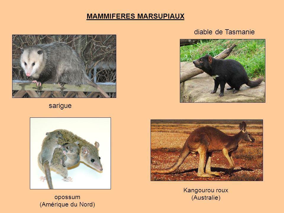 MAMMIFERES MARSUPIAUX