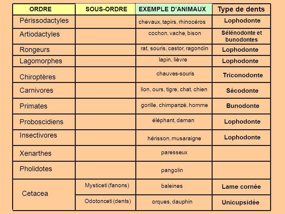 Sélénodonte et bunodontes
