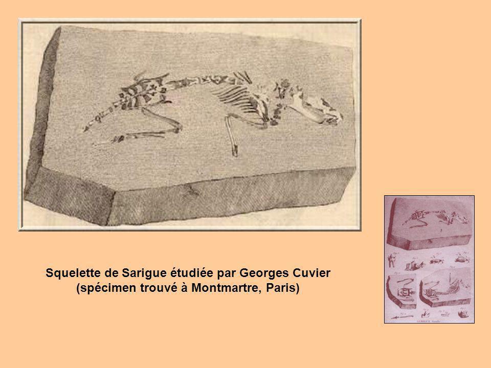 Squelette de Sarigue étudiée par Georges Cuvier
