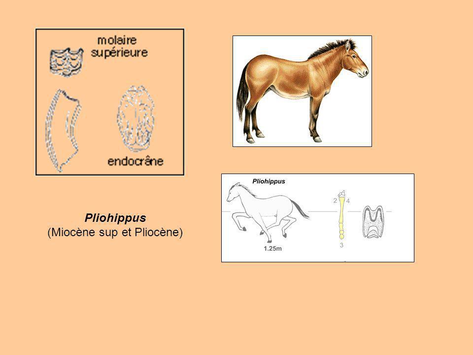 Pliohippus (Miocène sup et Pliocène)