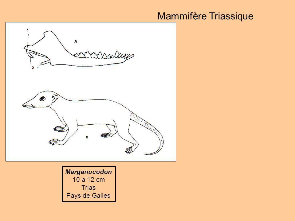 Mammifère Triassique Marganucodon 10 a 12 cm Trias Pays de Galles