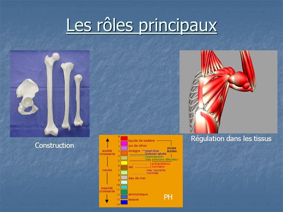 Les rôles principaux Régulation dans les tissus Construction PH