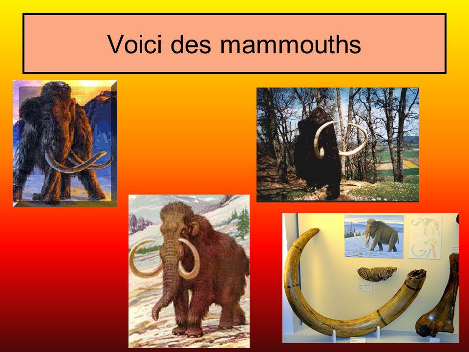 Voici des mammouths