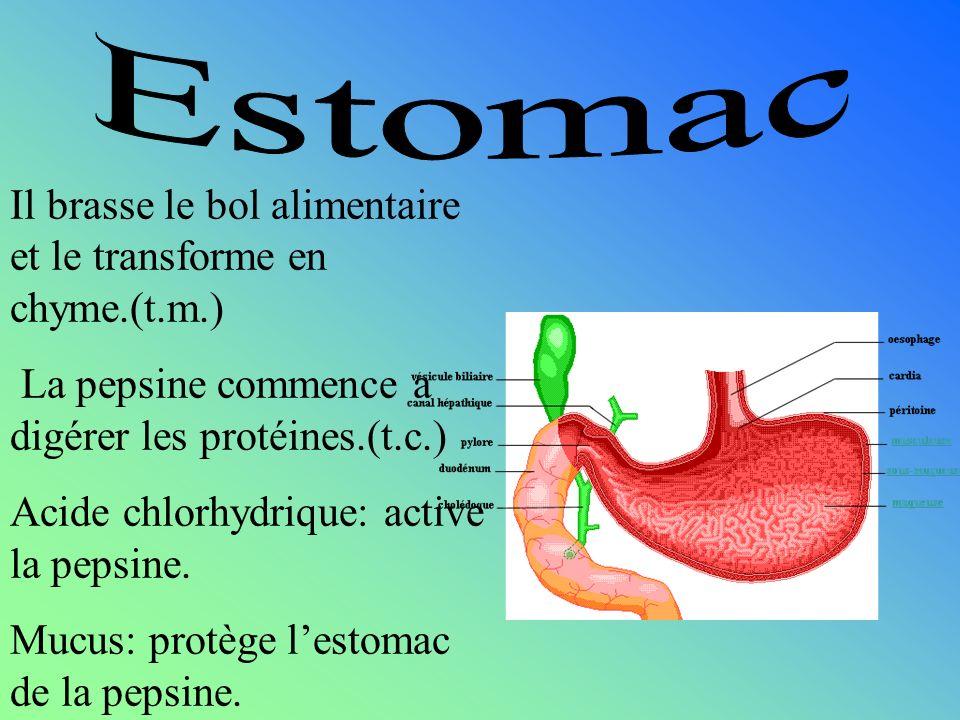 Estomac Il brasse le bol alimentaire et le transforme en chyme.(t.m.)