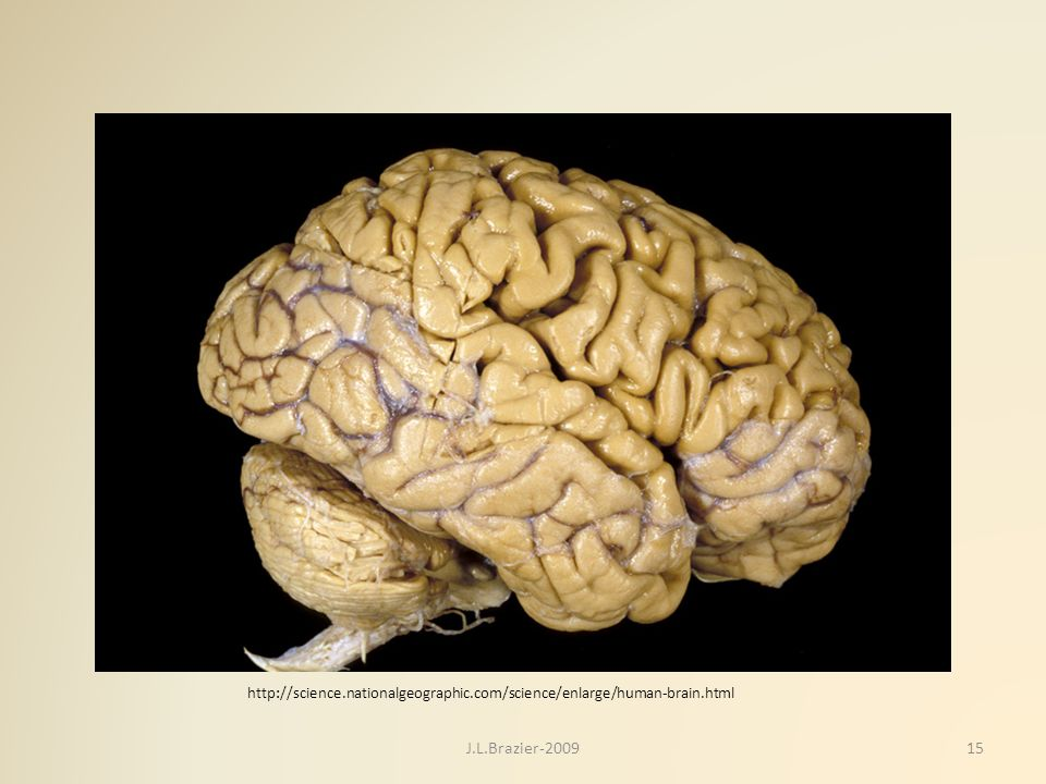 http://science. nationalgeographic. com/science/enlarge/human-brain