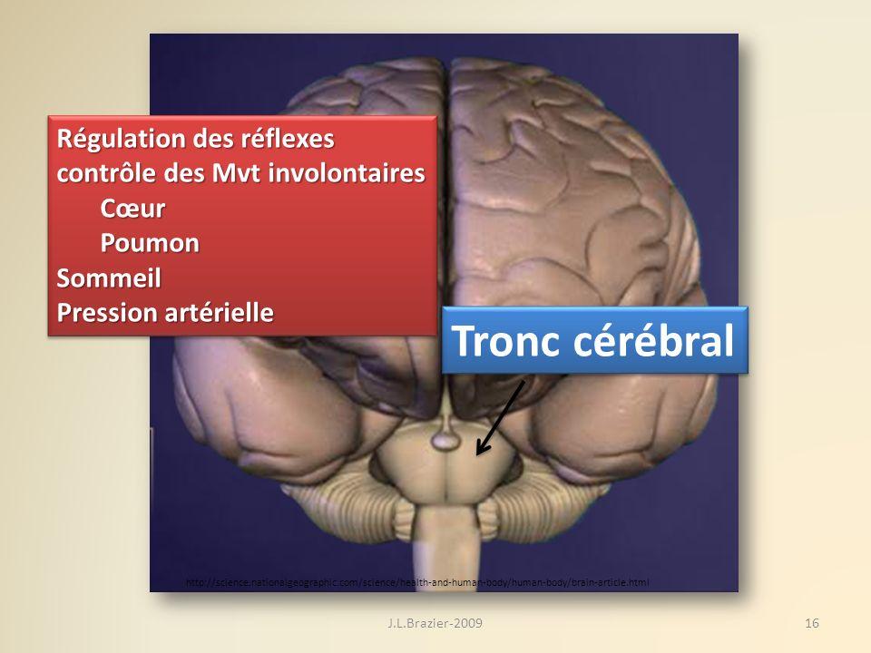 Tronc cérébral Régulation des réflexes contrôle des Mvt involontaires