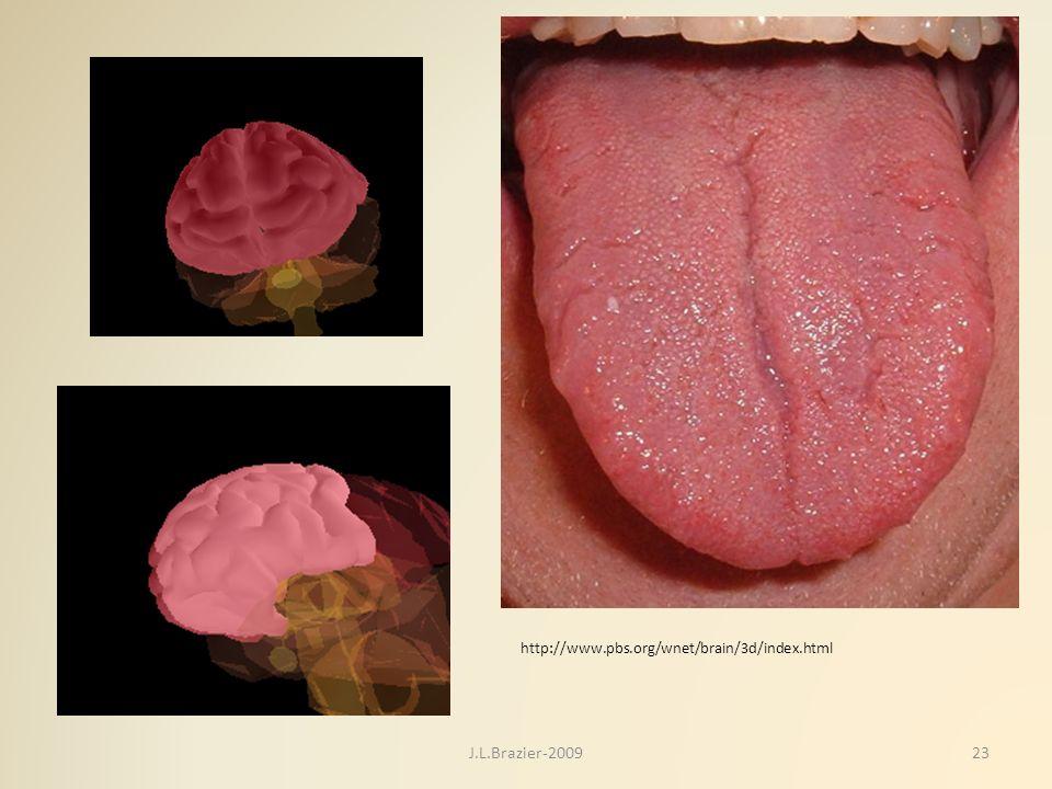 http://www.pbs.org/wnet/brain/3d/index.html J.L.Brazier-2009