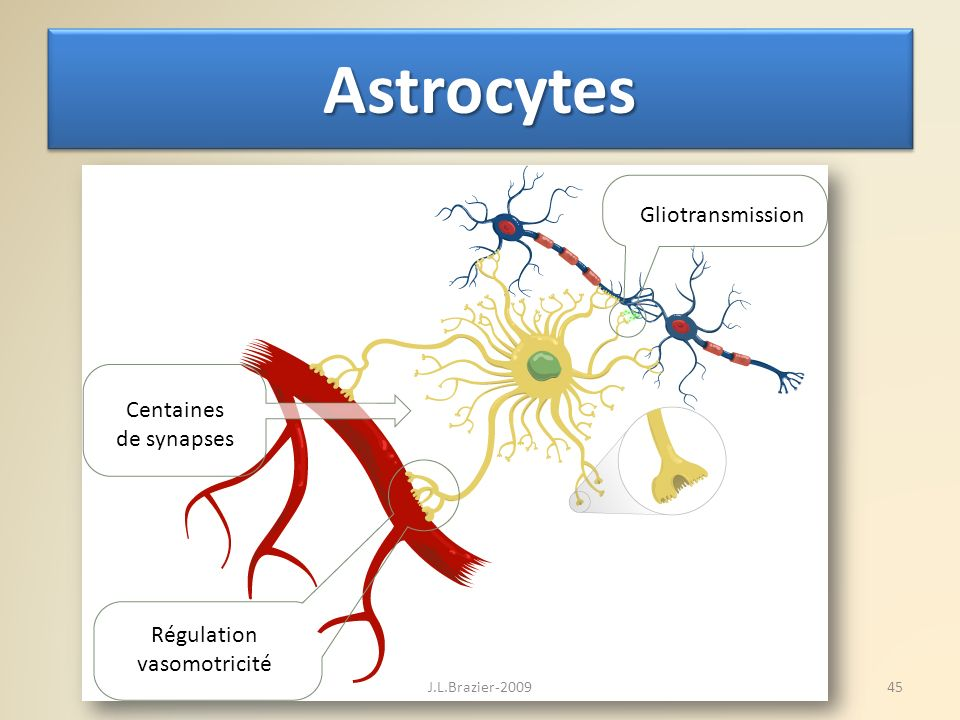 Astrocytes Gliotransmission Centaines de synapses Régulation