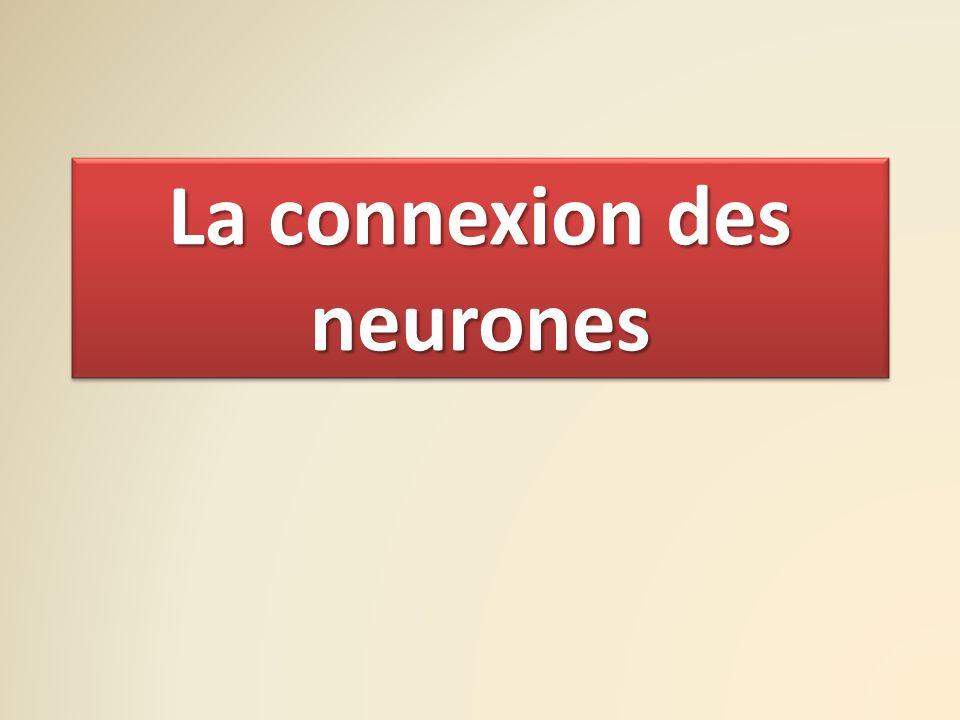 La connexion des neurones