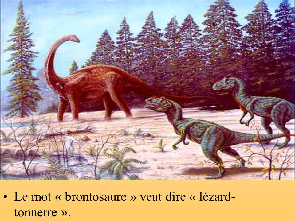 Le mot « brontosaure » veut dire « lézard-tonnerre ».