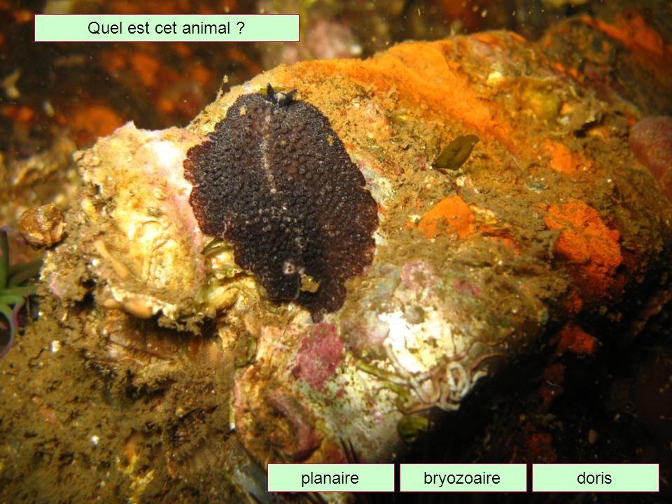 Quel est cet animal planaire bryozoaire doris