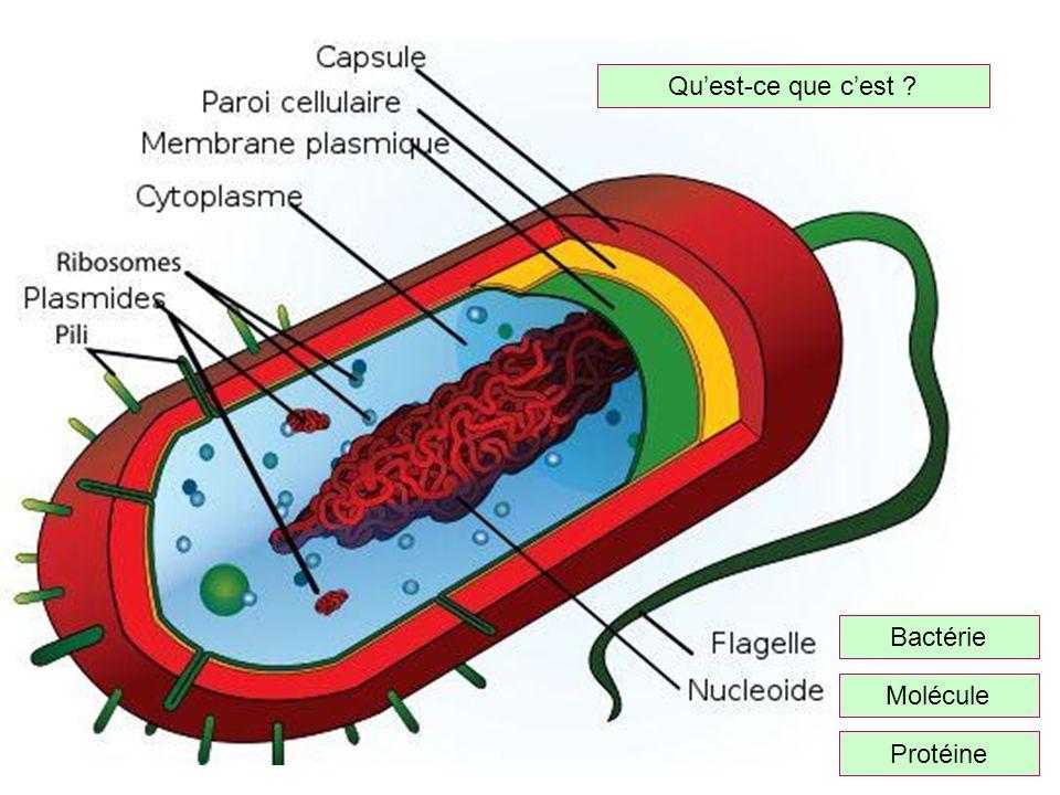 Qu'est-ce que c'est Bactérie Molécule Protéine