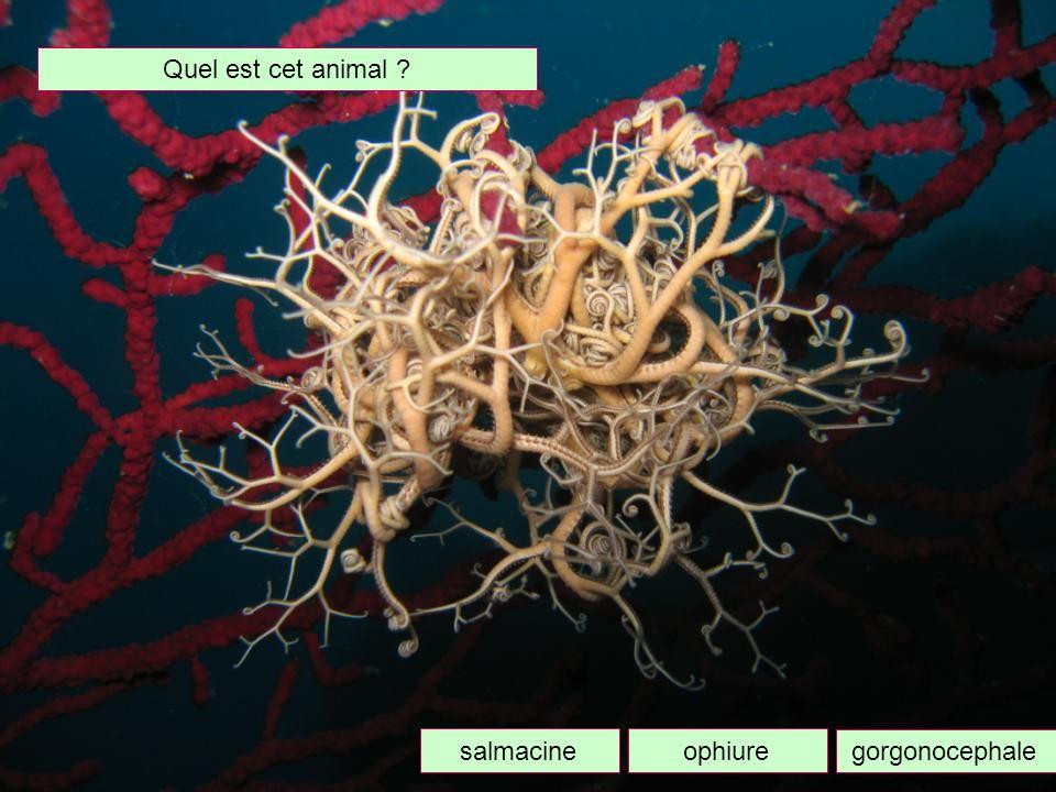 Quel est cet animal salmacine ophiure gorgonocephale