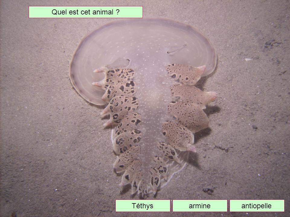 Quel est cet animal Téthys armine antiopelle