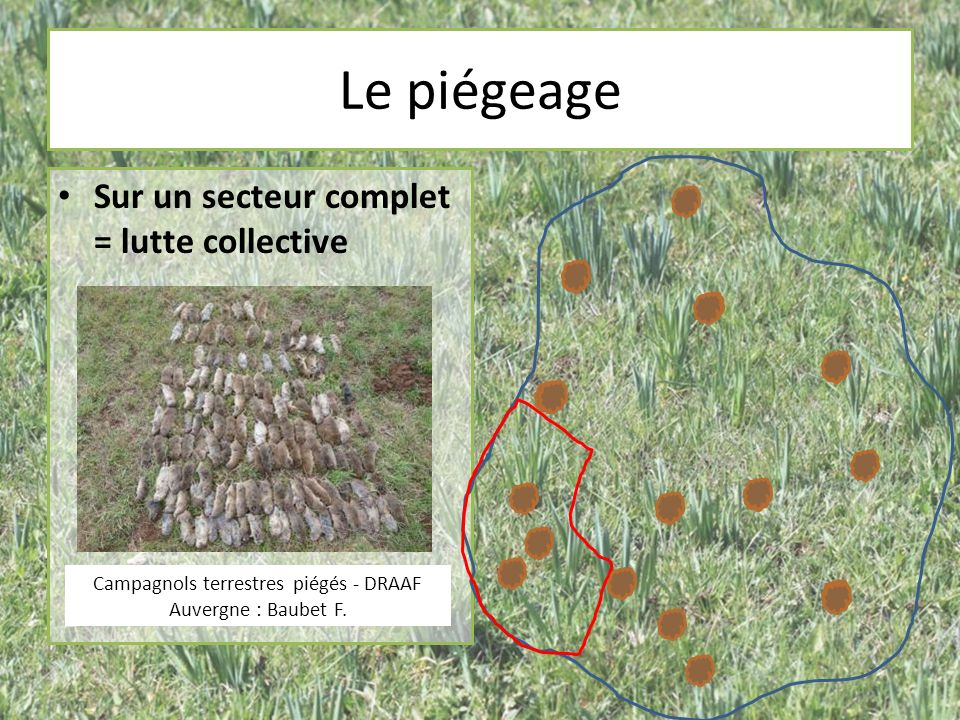 Campagnols terrestres piégés - DRAAF Auvergne : Baubet F.