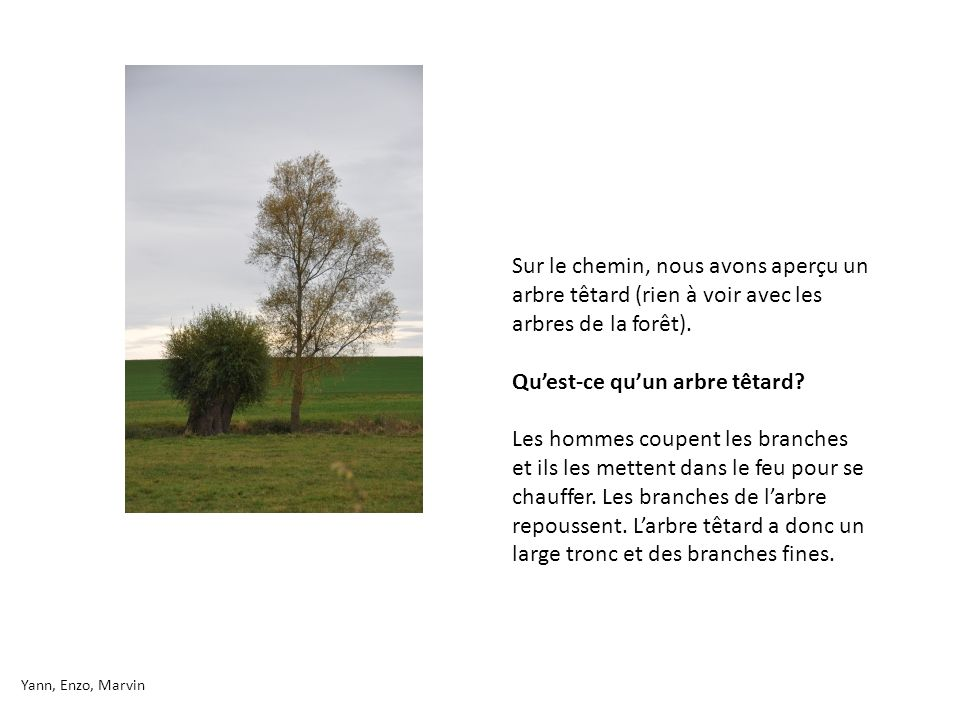 Qu'est-ce qu'un arbre têtard