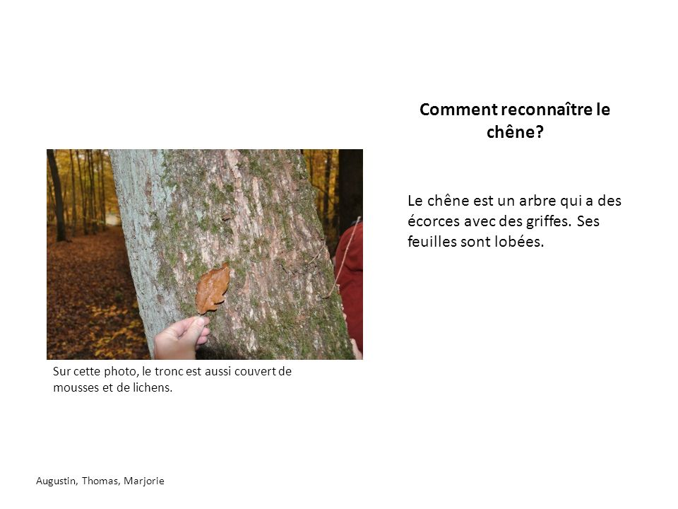 Comment reconnaître le chêne