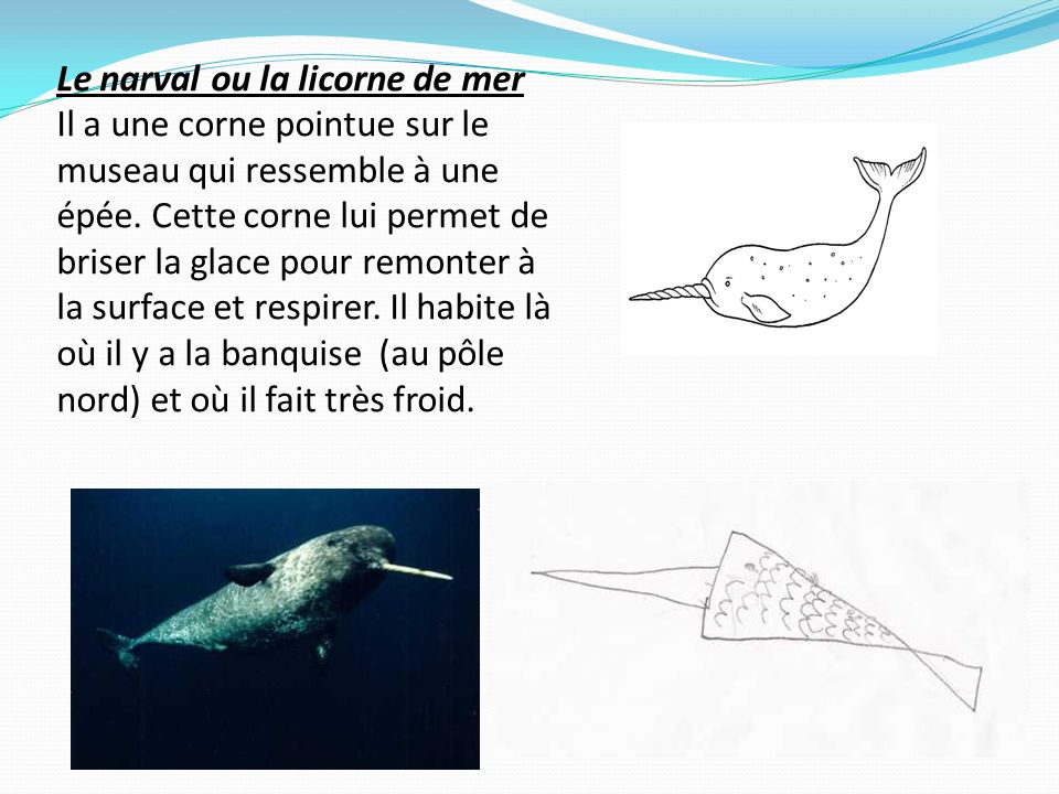 Le narval ou la licorne de mer