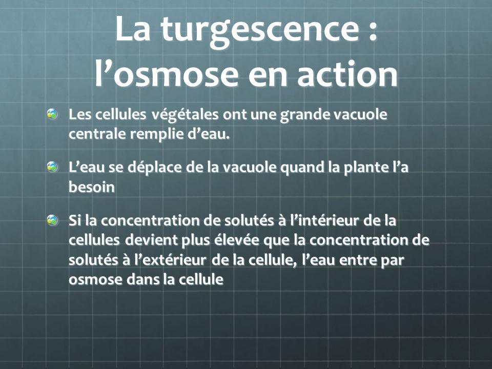 La turgescence : l'osmose en action