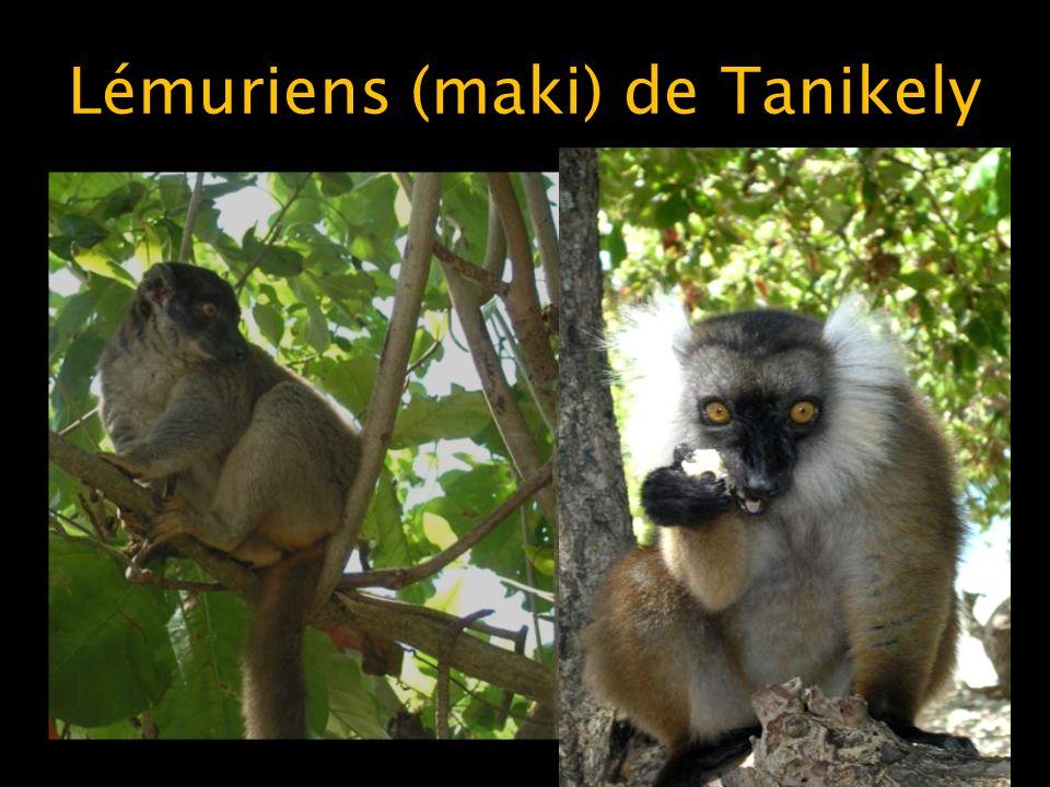 Lémuriens (maki) de Tanikely