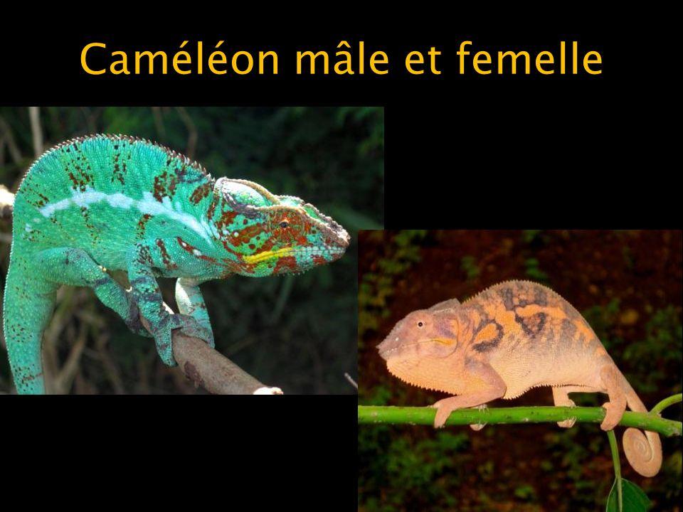 Caméléon mâle et femelle