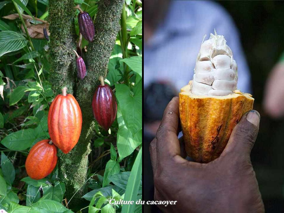 Culture du cacaoyer