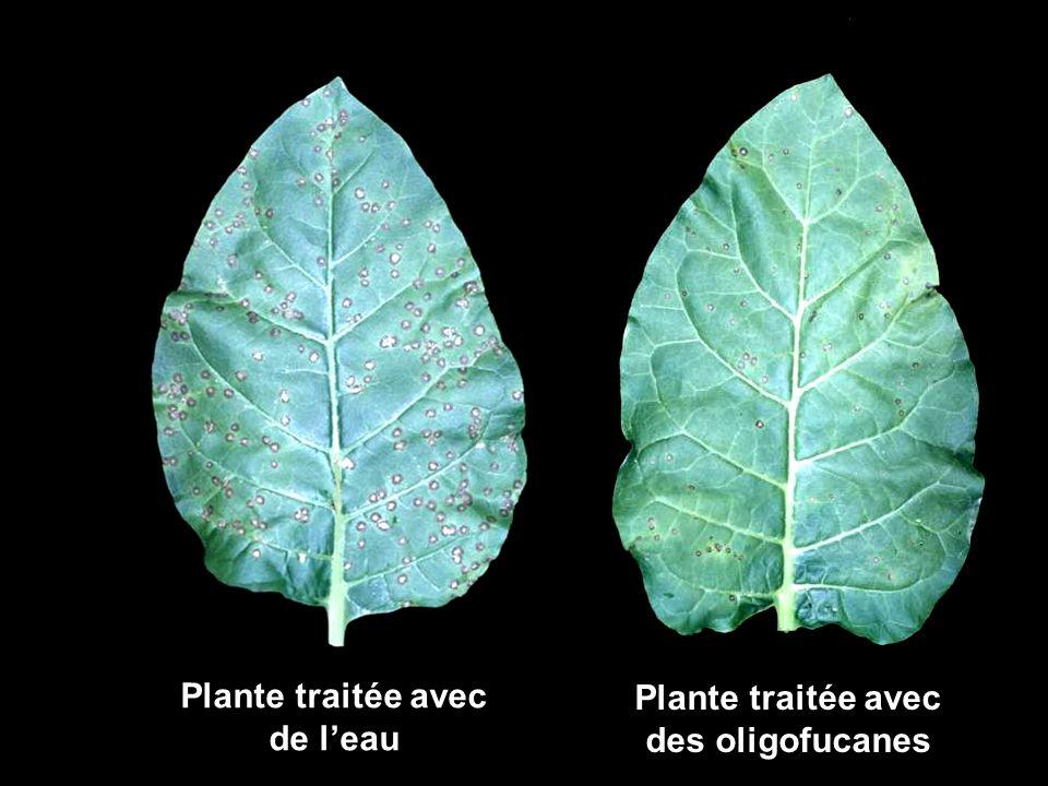 Plante traitée avec de l'eau des oligofucanes