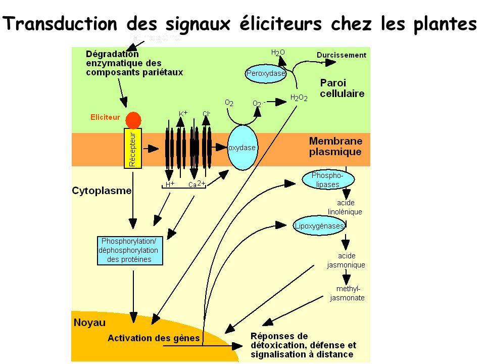 Transduction des signaux éliciteurs chez les plantes