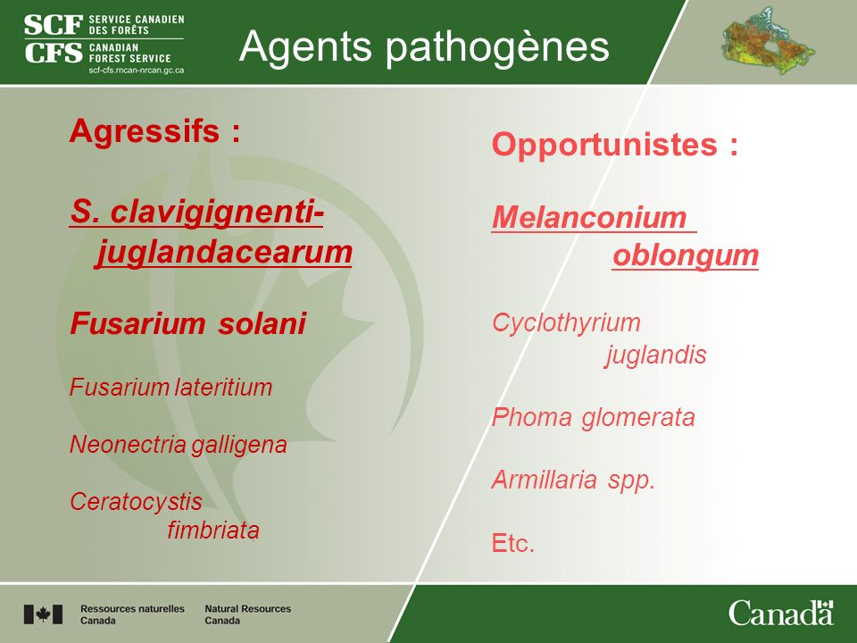 Agents pathogènes Agressifs : Opportunistes : S. clavigignenti-