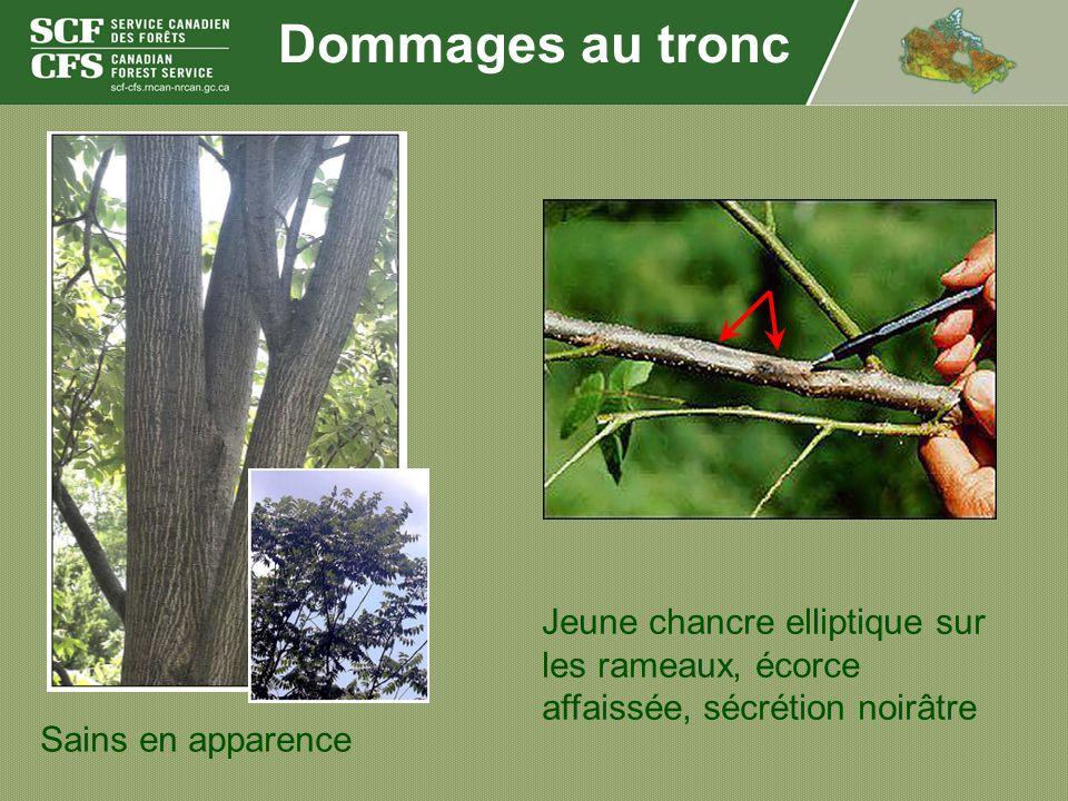 Dommages au tronc Jeune chancre elliptique sur les rameaux, écorce affaissée, sécrétion noirâtre.