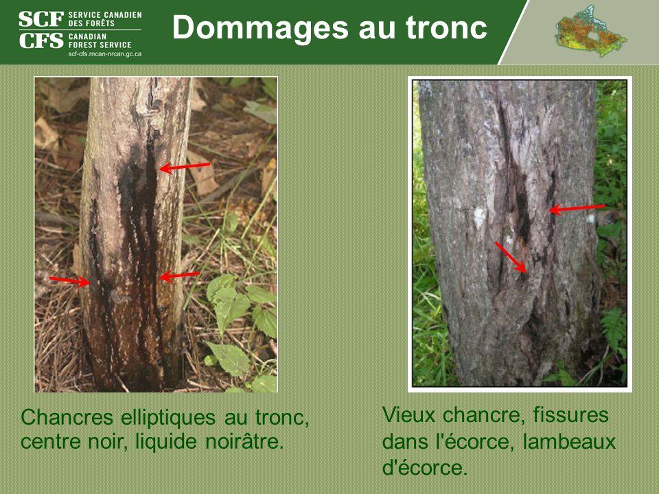 Dommages au tronc Vieux chancre, fissures dans l écorce, lambeaux d écorce.
