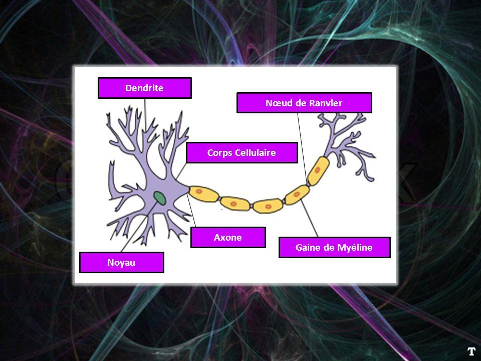 T Dendrite Nœud de Ranvier Corps Cellulaire Axone Gaine de Myéline