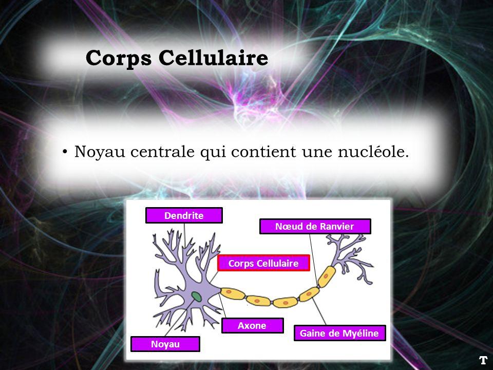 Corps Cellulaire Noyau centrale qui contient une nucléole. T Dendrite