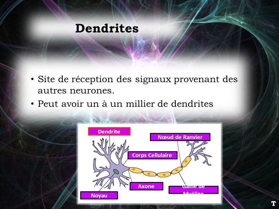 Dendrites Site de réception des signaux provenant des autres neurones.
