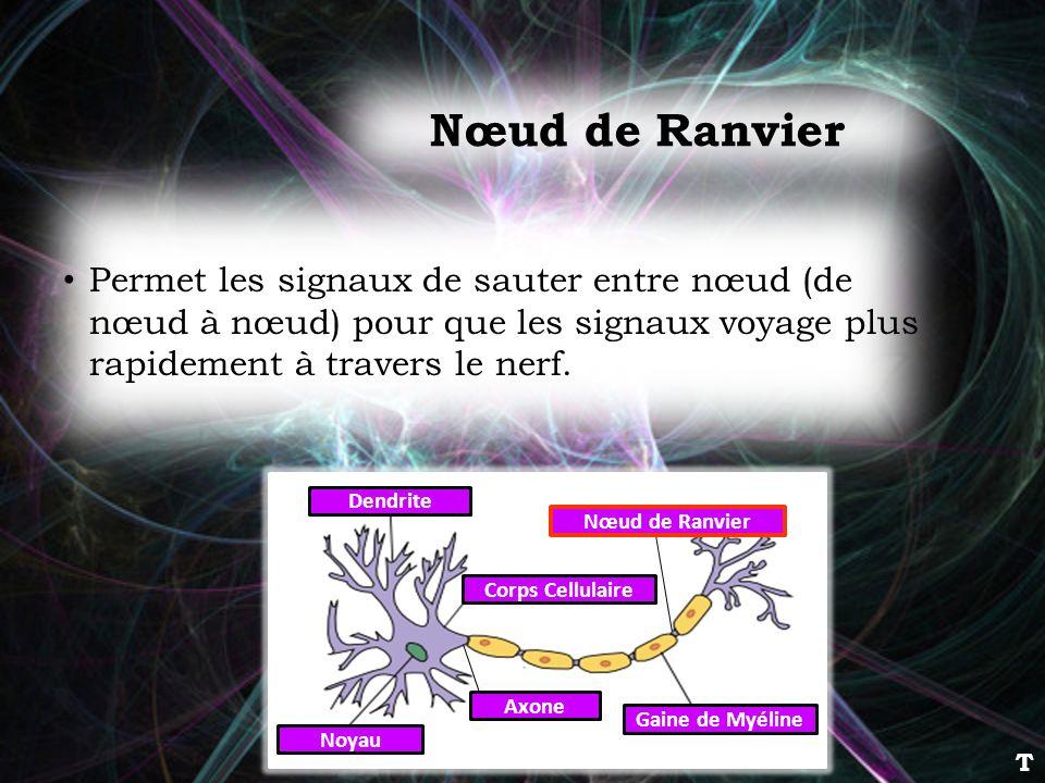 Nœud de Ranvier Permet les signaux de sauter entre nœud (de nœud à nœud) pour que les signaux voyage plus rapidement à travers le nerf.