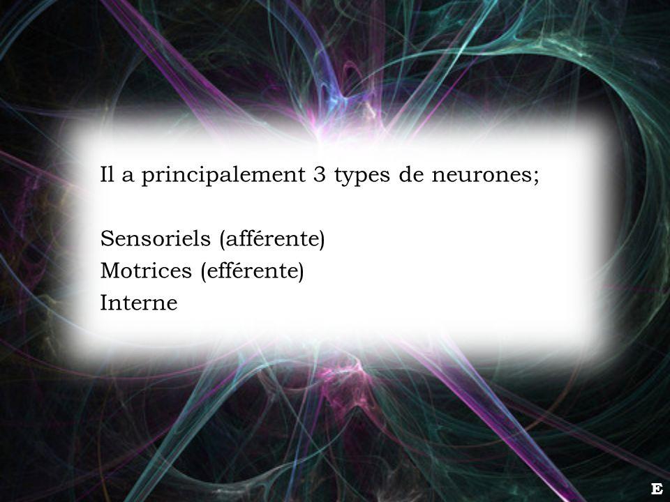 Il a principalement 3 types de neurones; Sensoriels (afférente)